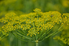 Flowering dill herbs plant in the garden (Anethum graveolens). Close up of fennel flowers Royalty Free Stock Images