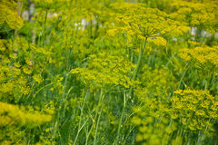 Flowering dill herbs plant in the garden (Anethum graveolens). Close up of fennel flowers Stock Images