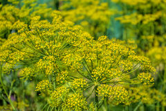 Flowering dill herbs plant in the garden (Anethum graveolens). Close up of fennel flowers stock image