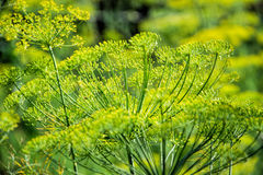 Flowering dill herbs plant in the garden Anethum graveolens. Close up of fennel flowers Stock Photos