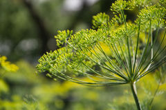 Flowering dill herbs plant in the garden Anethum graveolens. Close up of fennel flowers Stock Photo