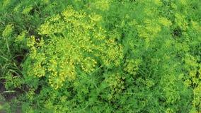 Flowering dill stock video