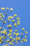 Flowering Dogwood Royalty Free Stock Image