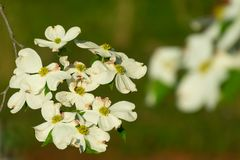 Flowering Dogwood Blossoms stock photography