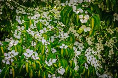 Flowering dogwood. Colored blooms and colored leaves royalty free stock photography