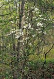 Flowering Dogwood. Cornus florida.  White flowers against green foilage.  Long Pond Greenbelt, Southampton, New York Royalty Free Stock Photography