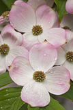 Flowering dogwood flowers Stock Photography