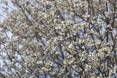 Flowering dogwood flowers Royalty Free Stock Image