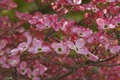 Flowering dogwood flowers Royalty Free Stock Photography