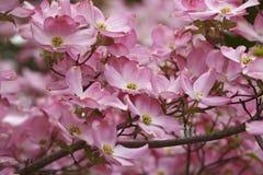 Flowering dogwood flowers. Flowering Dogwood (Cornus florida). Called American Dogwood and Eastern Dogwood also. Symbol of North Carolina, West Virginia royalty free stock photo