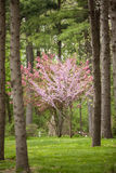 Flowering Dogwood and Redbud Trees in a Pine Forest Royalty Free Stock Photos