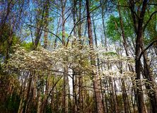 Flowering Dogwood. The state tree of North Carolina - The Flowering Dogwood nestled in the forest in the Blue Ridge Mountains of Asheville stock image