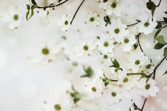 Flowering dogwood tree blossoms Stock Images