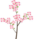 Flowering Dogwood Tree Branch Royalty Free Stock Photography