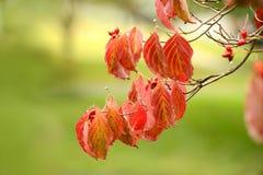 Flowering Dogwood Tree Branch Stock Image