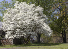 Flowering Dogwood Tree. A nice example of a well established old flowering dogwood tree in full bloom. The most common dogwood, Cornus florida, is a flowering stock photos