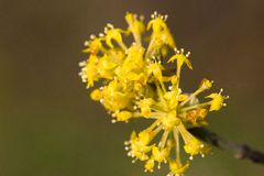 Flowering dogwoods Royalty Free Stock Photos