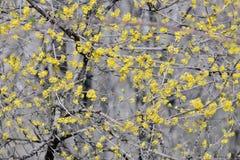 Flowering dogwoods  Cornus mas Stock Image