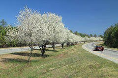 Flowering Dogwoods Lining a Road Stock Photography