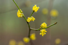 Flowering dogwoods in rain stock photography