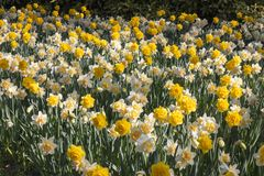 Flowering of double-flowered daffodils in spring. Flowering of double-flowered yellow and orange daffodils in spring, useful to represent the idea of spring Stock Photos