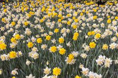 Flowering of double-flowered daffodils in spring. Flowering of double-flowered yellow and orange daffodils in spring, useful to represent the idea of spring Royalty Free Stock Photo