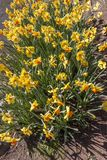 Flowering of double-flowered daffodils in spring. Flowering of double-flowered yellow and orange daffodils in spring, useful to represent the idea of spring Royalty Free Stock Image