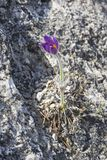 Flowering Eastern pasqueflower. On the rock. Crimea, beginning of April royalty free stock photography