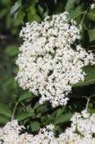 Flowering elder black Stock Photo