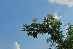 Flowering elder tree in front of blue sky. White cluster flowers of sambucus nigra, the european elder against blue sky with white clouds Stock Images