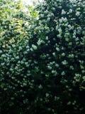 Flowering elderberry in the garden. Fresh Flowering elderberry in the garden royalty free stock photos