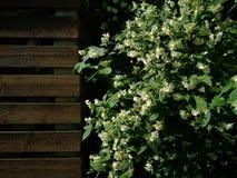 Flowering elderberry in the garden. Fresh Flowering elderberry in the garden royalty free stock image