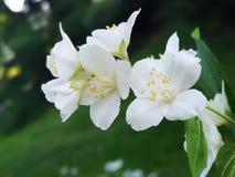 Flowering elderberry in the garden. Fresh Flowering elderberry in the garden stock photography