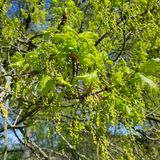 Flowering English oak, Quercus robur. Flowering catkins and young leaves of an English oak, Quercus robur in a riparian forest at the Seddin lake South of Berlin Royalty Free Stock Image