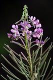 Flowering Epilobium angustifolium. On a dark background in the wild flowering Epilobium angustifolium royalty free stock image