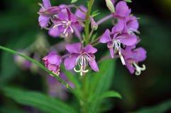 Flowering Epilobium angustifolium. On a dark background in the wild flowering Epilobium angustifolium stock image