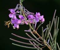 Flowering Epilobium angustifolium. On a dark background in the wild flowering Epilobium angustifolium stock photo