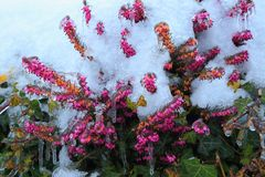 Flowering Erica carnea. Commonly known as winter heath covered in snow stock image