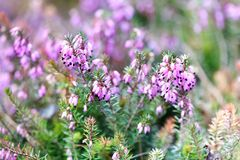 Flowering Erica tetralix small pink lilac plants, shallow depth of field, selective focus photography.  Stock Photos
