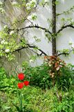 Flowering espalier apple tree on white wall Royalty Free Stock Image