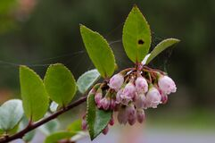 Flowering Evergreen Huckleberry