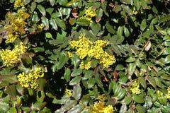 Flowering shrub of Mahonia aquifolium in spring. Flowering evergreen shrub of Mahonia aquifolium in spring stock photo