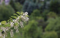 Flowering False Acacia Royalty Free Stock Images
