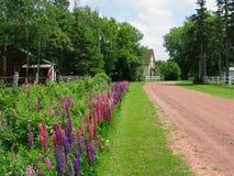 Flowering Farm Lane. Farmhouse down the lane bordered by flowering lupins stock photo