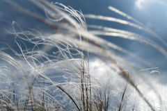 Flowering feather-grass Stock Image