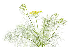 Flowering fennel Royalty Free Stock Image