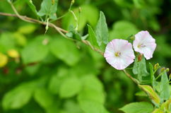 Flowering field bindweed in a garden. Flowering field bindweed (Convolvulus arvensis) in a garden Stock Photos