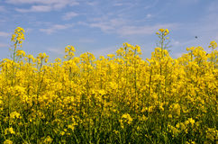 Flowering field of colza in spring Stock Photography