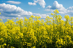 Flowering field of colza in spring Royalty Free Stock Images