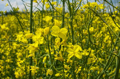 Flowering field of colza in spring Royalty Free Stock Photo